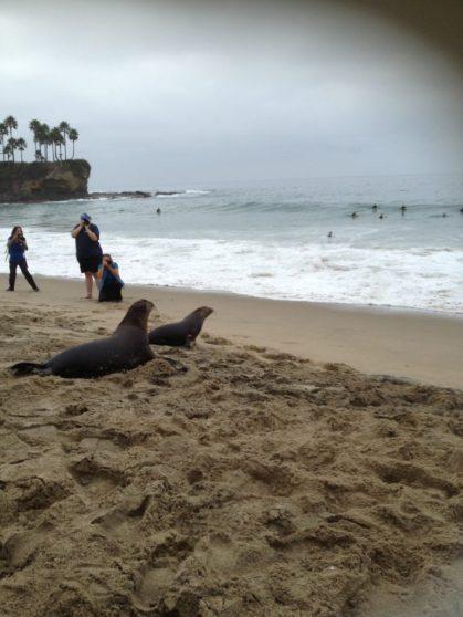 sea lion release Laguna beach Pacific Marine Mammal Centre