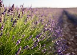 Saal Digital Lavendel_01