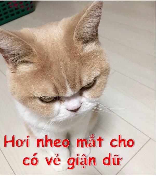 Hơi nheo mắt cho có vẻ giận dữ - Meme Mèo