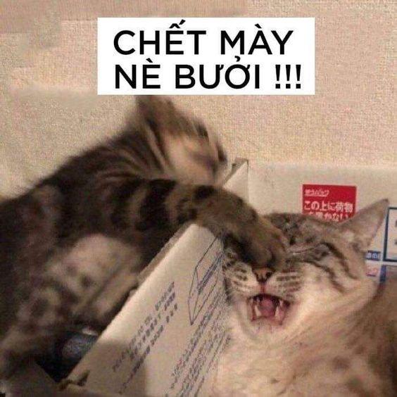Chết mày nè bưởi!!! - Meme Mèo