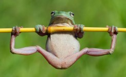Funny-Frog-Doing-Gymnastic-Picture
