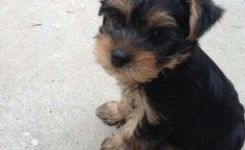 Cute Little Yorkie So Cute Pinterest Yorkies Dog And Yorkshire Terrier