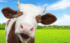 Image Result For Funny Cow Watchonline