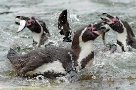 Photo taken from https://animalcorner.co.uk/animals/humboldt-penguin/