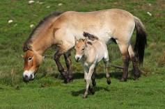 http://www.horsebreedsinfo.com/images/Przewalski's%20Horse2.jpg