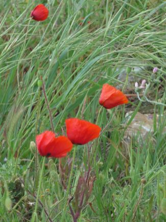 Poppies ANZAC Cove