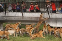 Chinese man throws a live chicken to tigers in the Siberian Tiger Park outside Haerbin, Heilongjiang