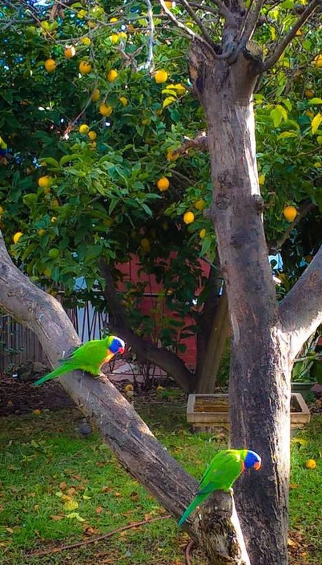 La natura di Melbourne: pappagalli su un albero di limoni