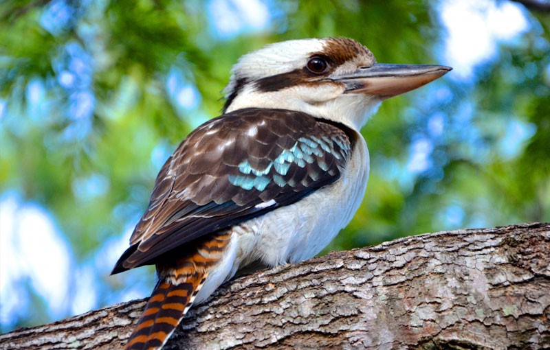 Kookaburra-The-Nature-Conservancy-Australia-Henry-Caraoa-800x510