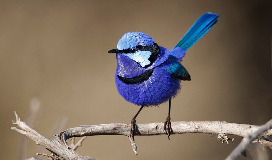 Splendid-Fairy-wren_australian-bird