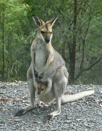 kangaroo-2071265_960_720-e1521612021578.jpg