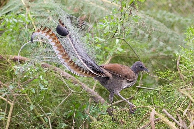 Uccello lira