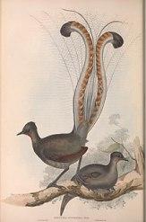 220px-Lyre_bird