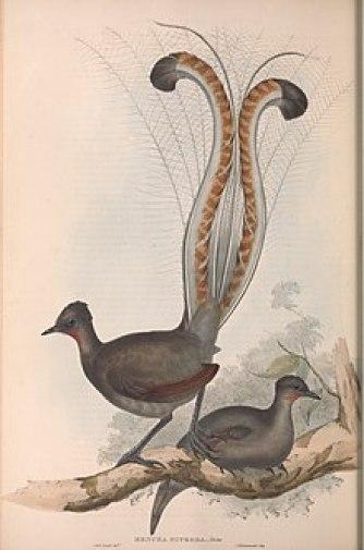 Uccello lira in un disegno
