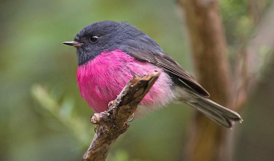 pink-robin