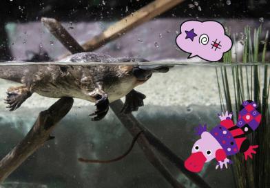 platipo e ornitorinco che nuotano