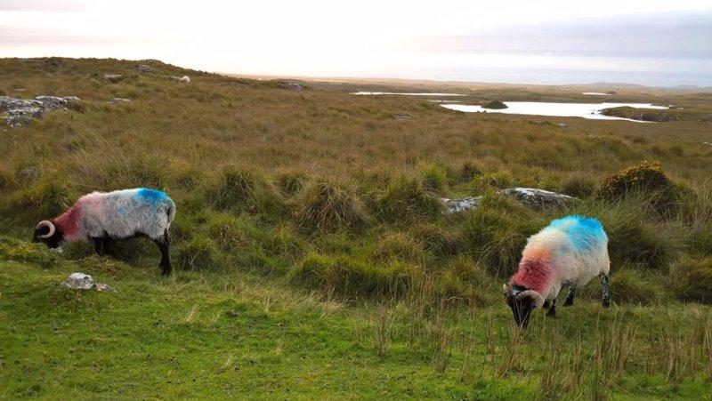 Due pecore con il vello colorato