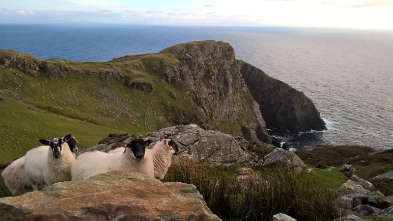 Paesaggio irlandese con pecore dal muso nero in primo piano