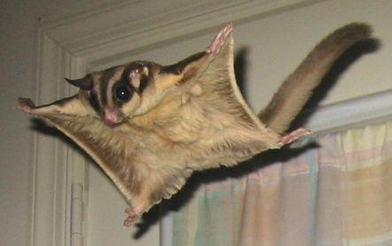 petauro dello zucchero volante