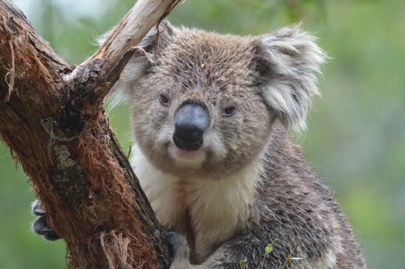 Un koala maschio bagnato