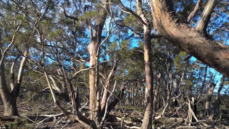 bosco-tasmania