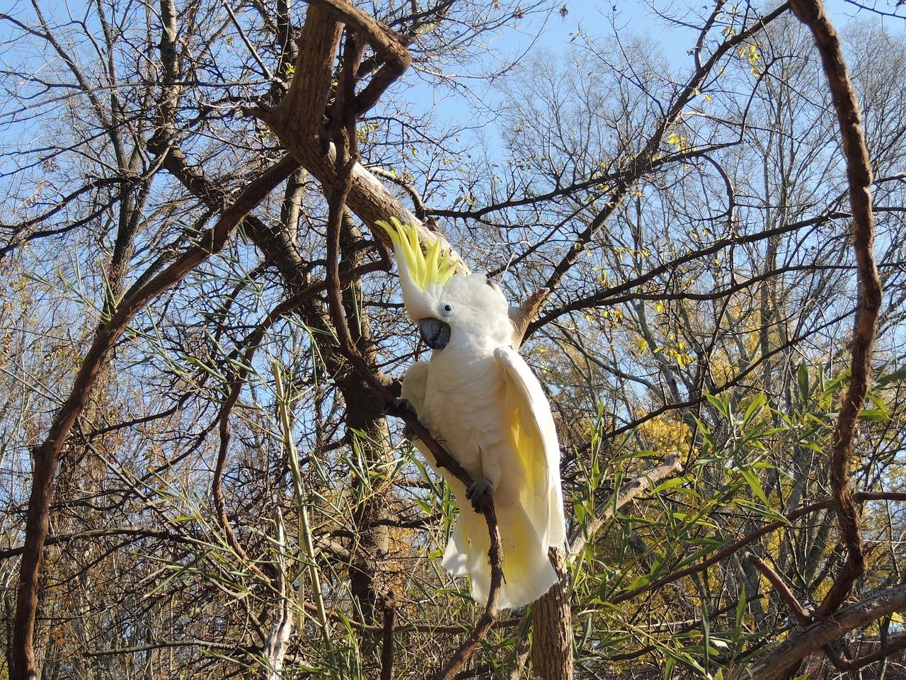 cacatua-ciuffo-giallo