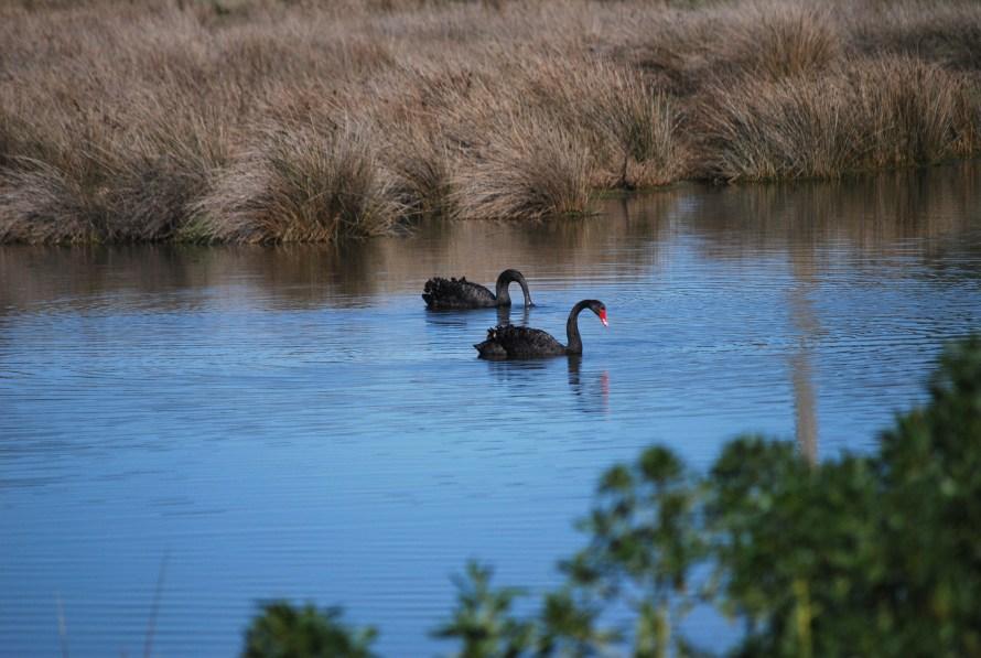 cigni neri coppia nella palude