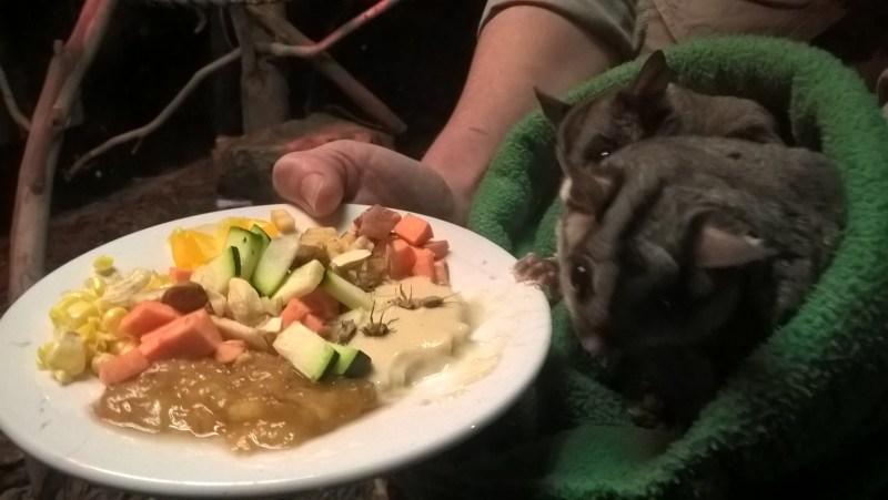 petauri-dello-zucchero-con-piatto-di-cibo