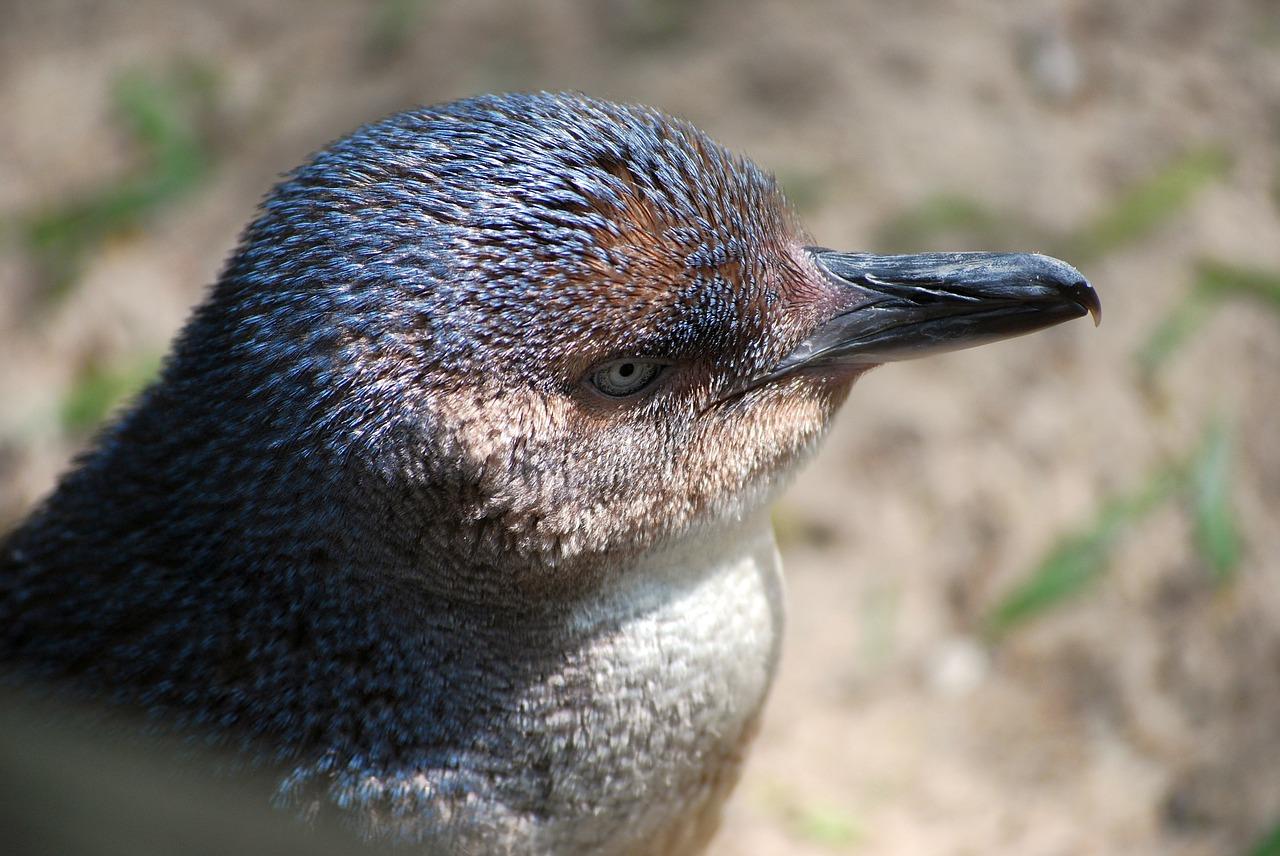 piccolo-pinguino-blu-pinguino-minore-blu-primo-piano