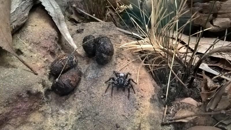 ragno-enorme
