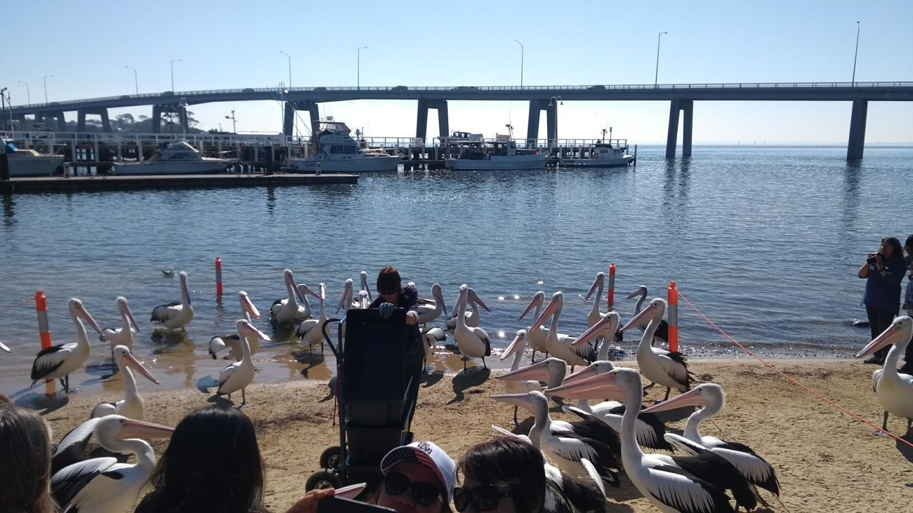 san-remo-pellicani-e-ranger-pelican-feeding