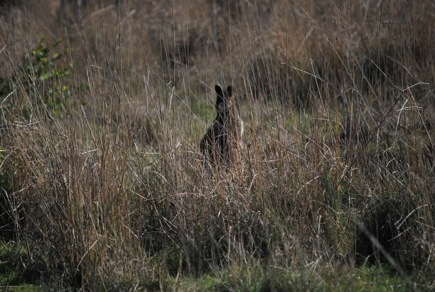 wallaby sagoma nel bush
