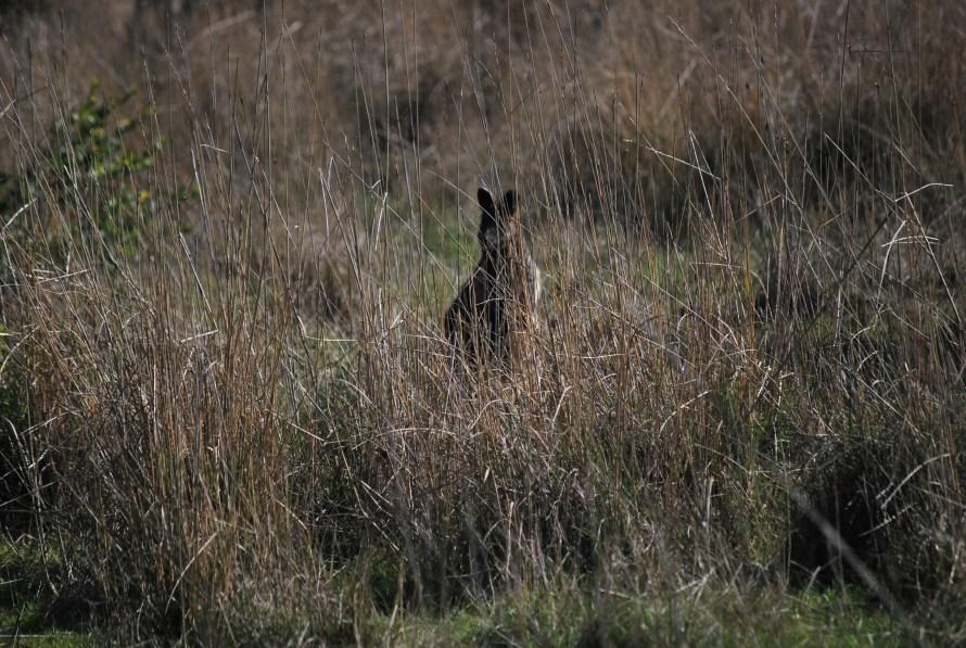 wallaby sagoma nel bush