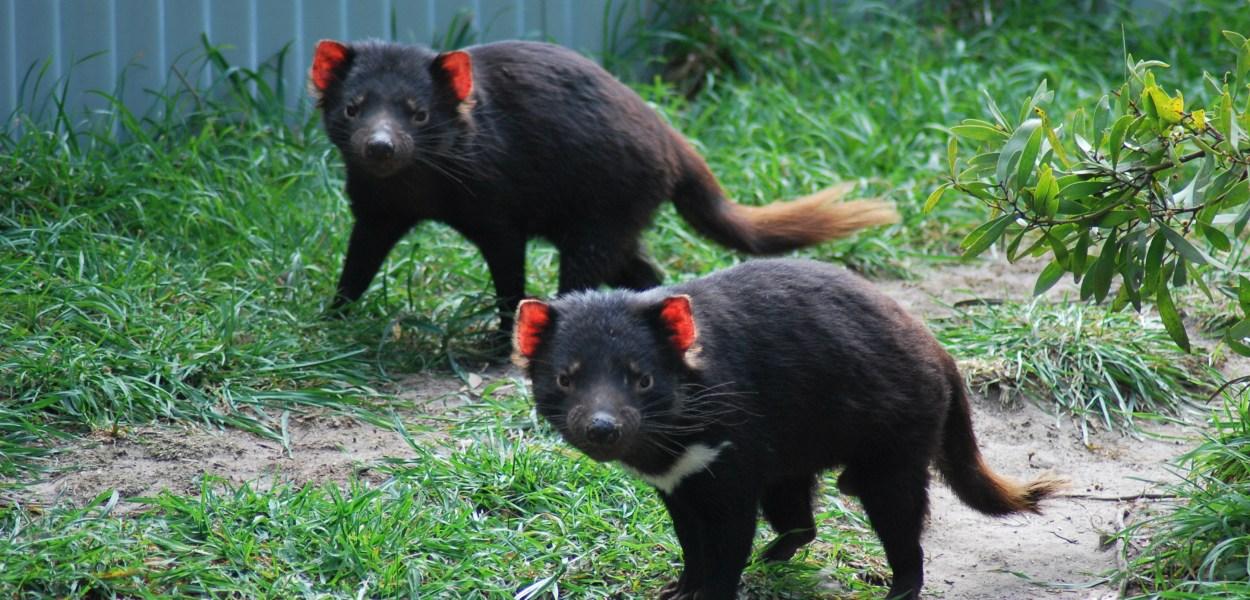 diavoli-della-tasmania