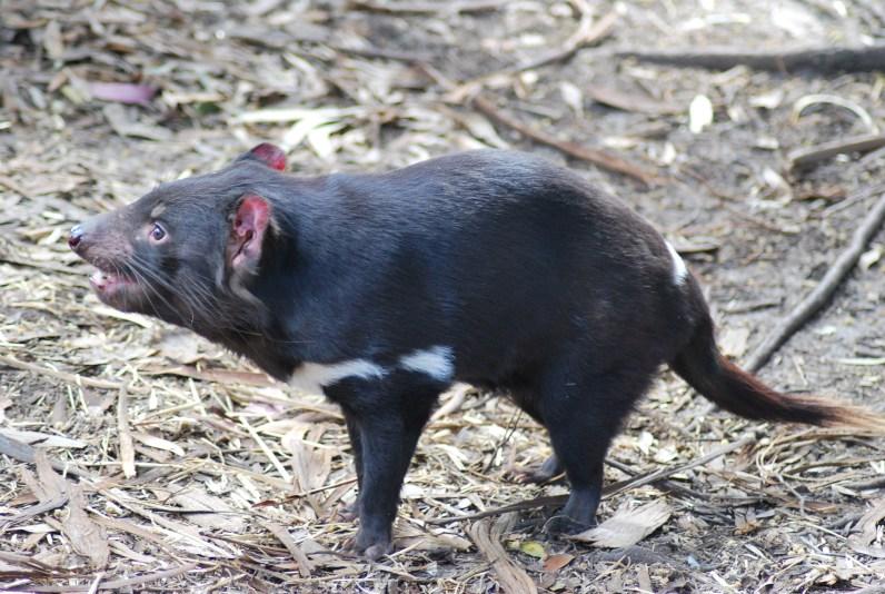 diavolo-tasmania-4