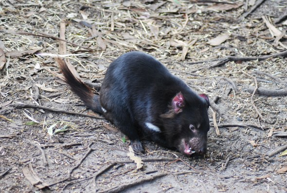 diavolo-tasmania