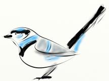 splendid fairy-wren disegno