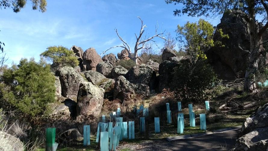 alberi piantati a hanging rock