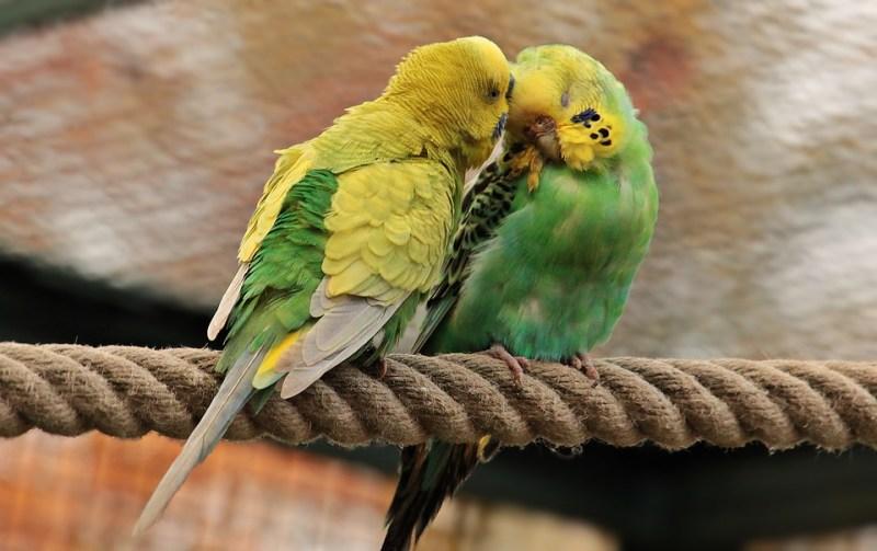coppia di cocorite innamorate