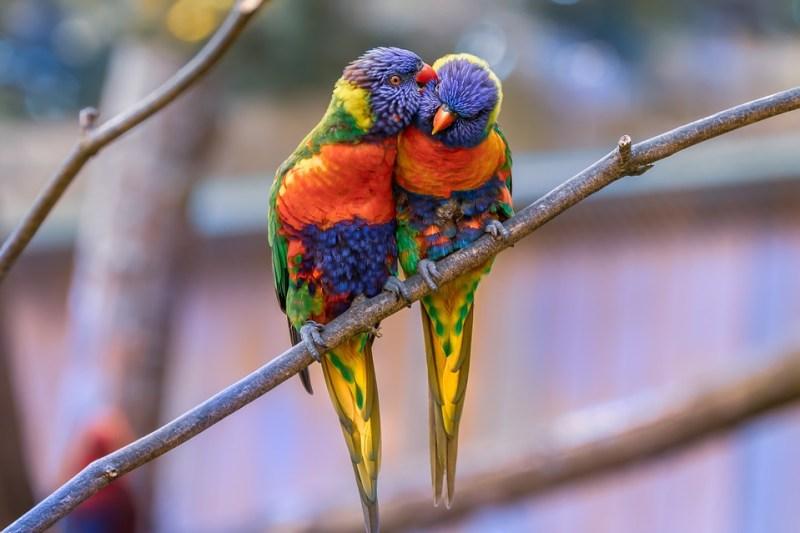 coppia di pappagallini lorichetti innamorati