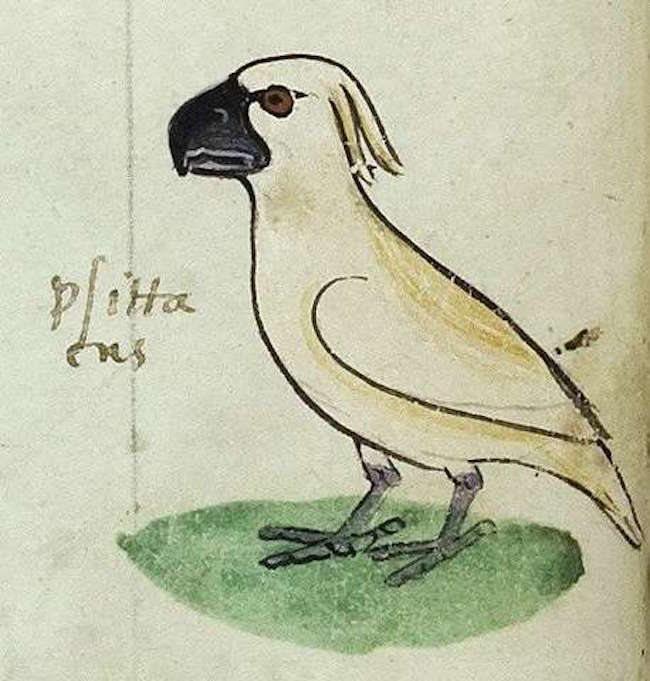 il primo pappagallo cacatua rappresentato nell'arte europea