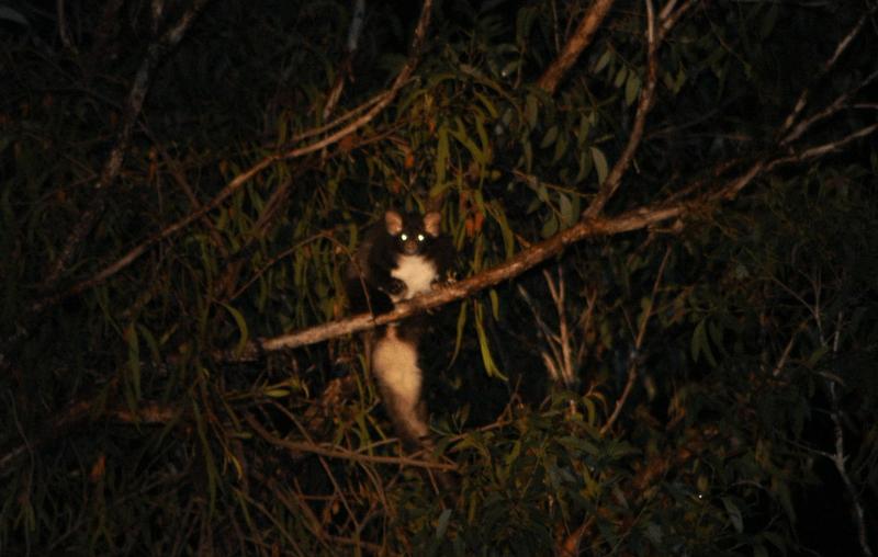 petauro maggiore su un albero di notte