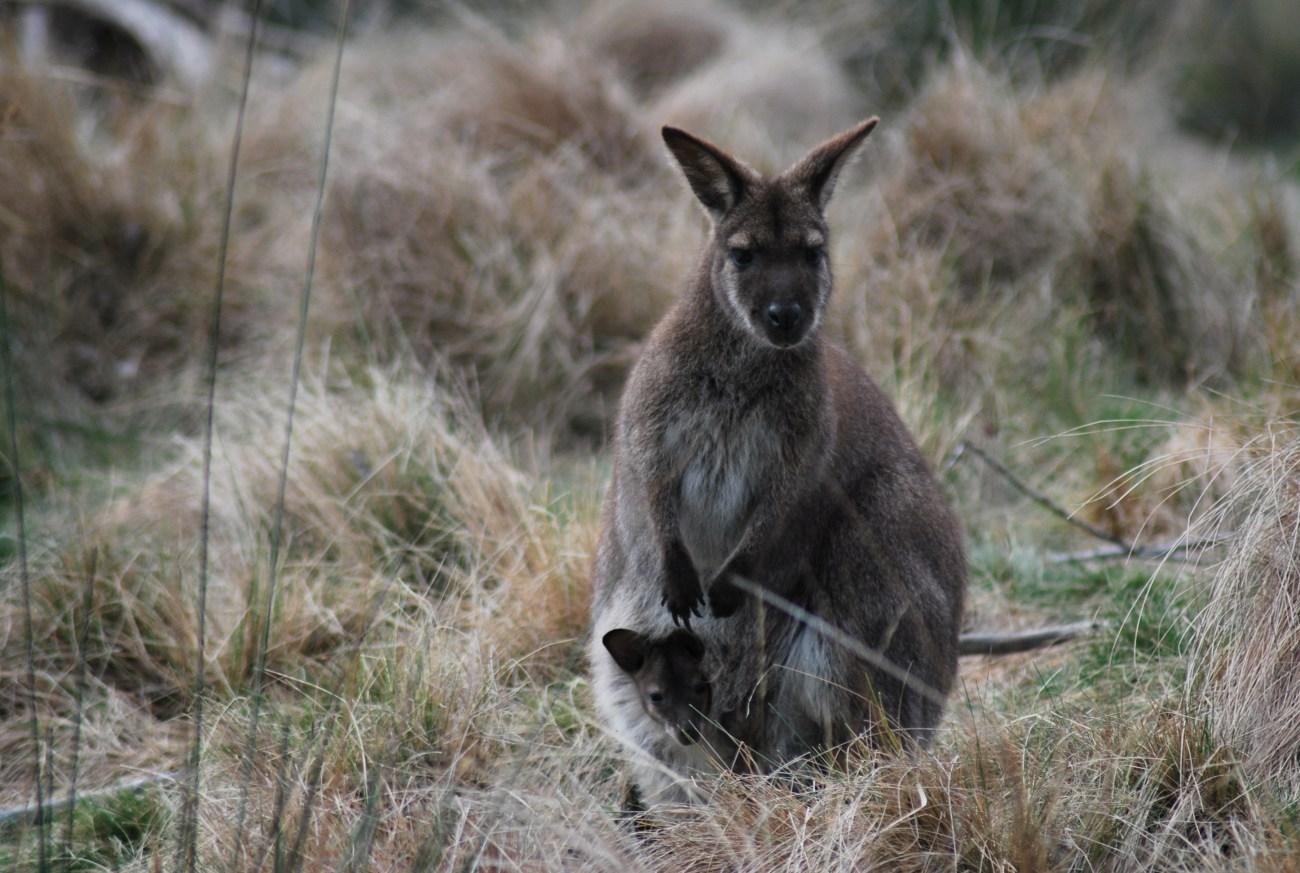 wallaby con cucciolo nel marsupio