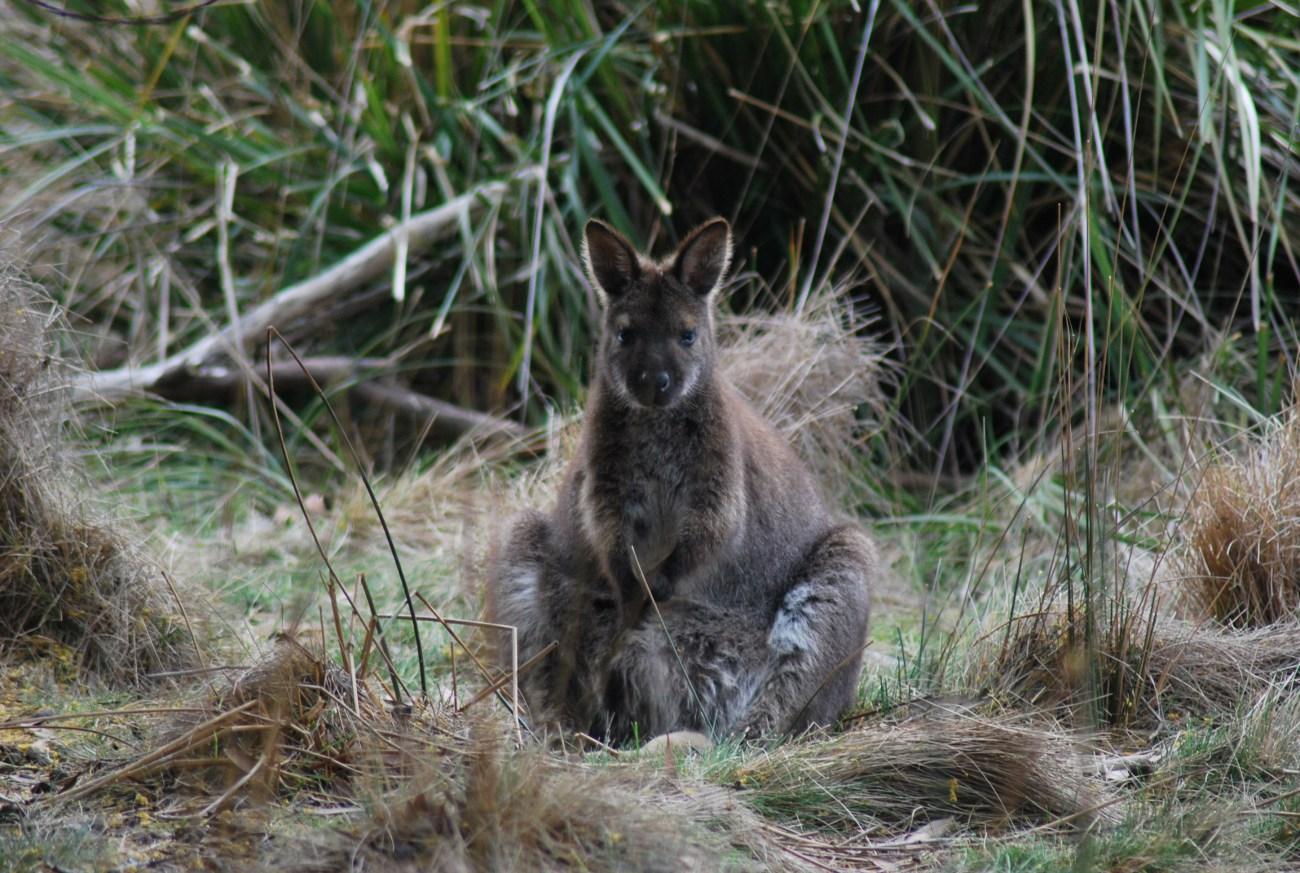 wallaby con marsupio pieno