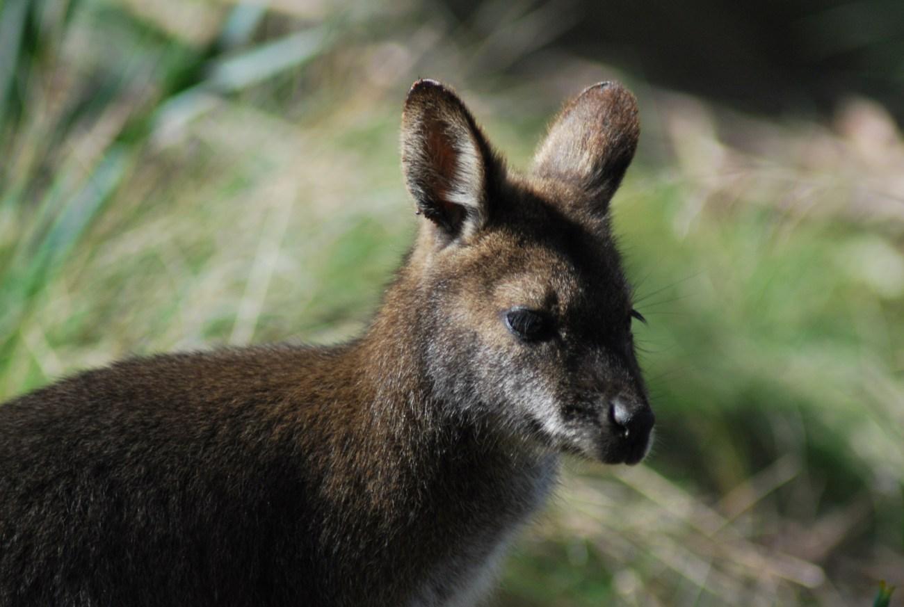 wallaby primo piano