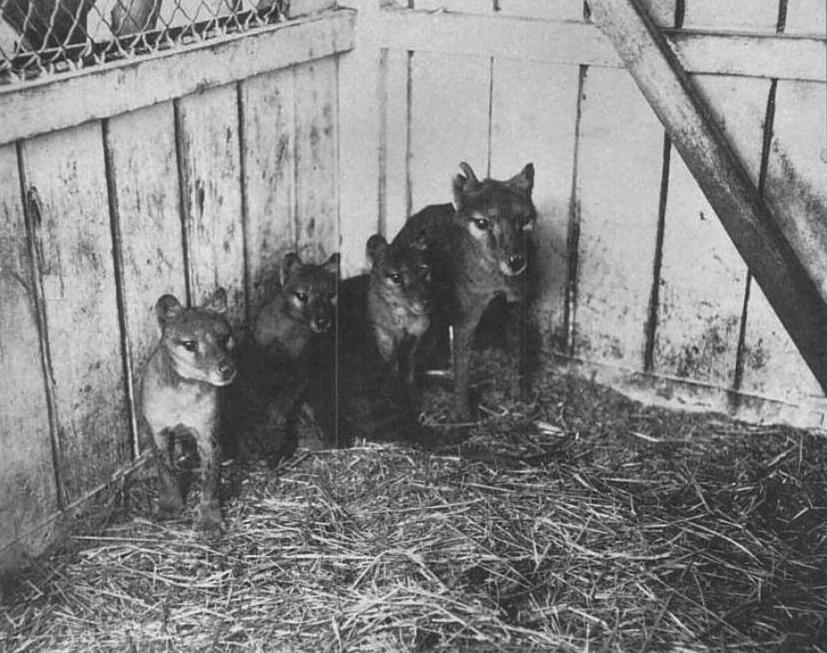 tilacino con cuccioli