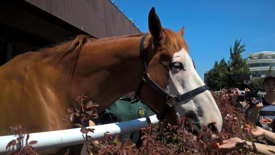 cavallo marrone con muso bianco