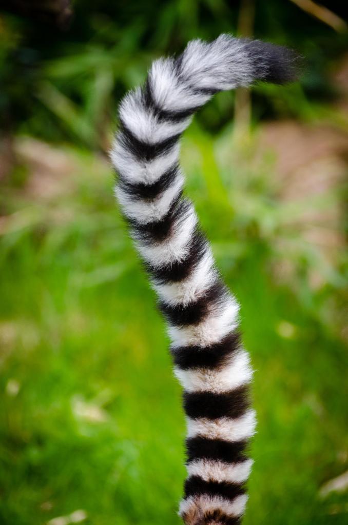 coda umana o animale? coda di lemure