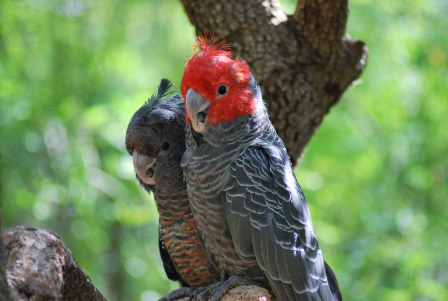 pappagalli gang gang maschio e femmina