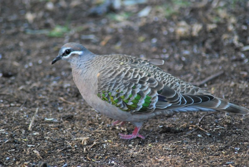 common bronzewing tortora alibronzate